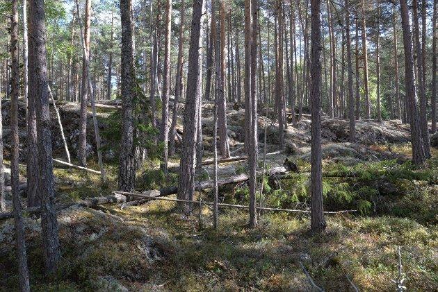 GAMMEL: Gammel fleraldret furuskog med død ved fra Follsjå-området.