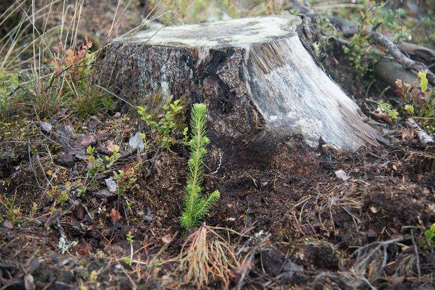 30 millioner granplanter blir planta i Norge hvert år.
