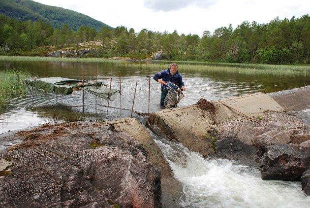Villaksprosjektet i Sagfossen i Nordland er et av mange prosjekt havbruksnæringen har vært med på å finansiere i Nord-Norge.
