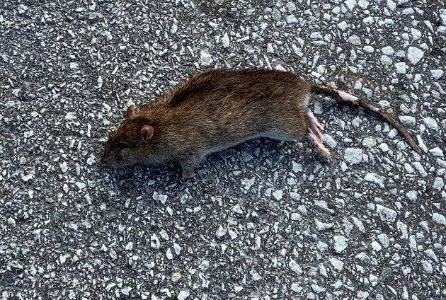 PÅKJØRT: Den siste av de tre rottene som er blitt påkjørt på gamle E39 ved Hetleskjei. Den skal ha vært minst 25 centimeter lang.