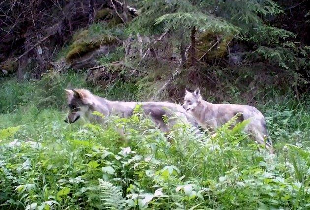 Bildet viser ulver i Enebakk og er tatt av et viltkamera tilhørende Norsk institutt for naturforskning (NINA).