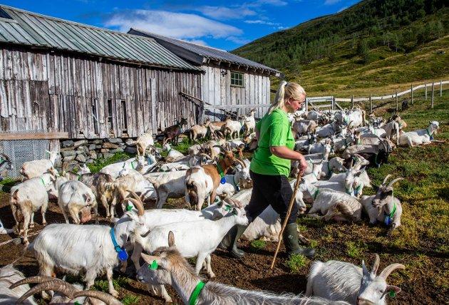 - Det aller viktigste for å videreføre seterdrifta er å opprettholde små og mellomstore melkebruk over hele landet, og særlig i fjellbygdene, skriver forskerne ved Agri analyse.