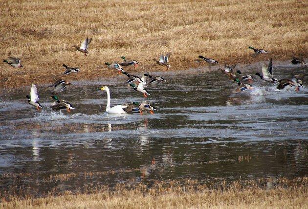 MIDLERTIDIG LANDINGSTILLATELSE: Disse fuglene har slått seg ned i en flomdam på et jorde i Nesgutua torsdag.
