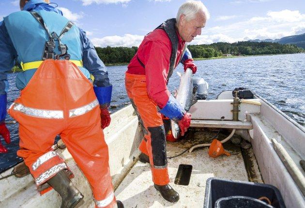 Viggo Reinert på kilenotfiske i Namsenfjorden.