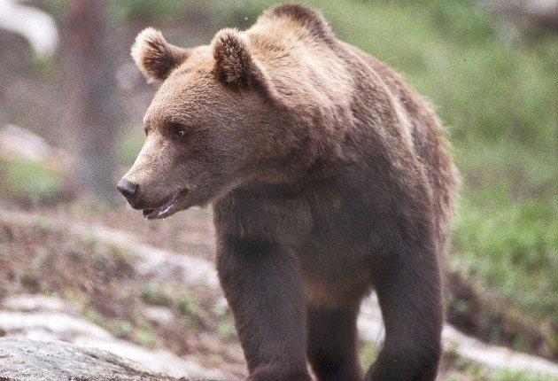 Tjuvjakt: Illegal jakt på bjørn står for opp mot halvparten av all dødelighet for bjørn, hevder Thorolf Lie i Bygdefolk for rovdyr.