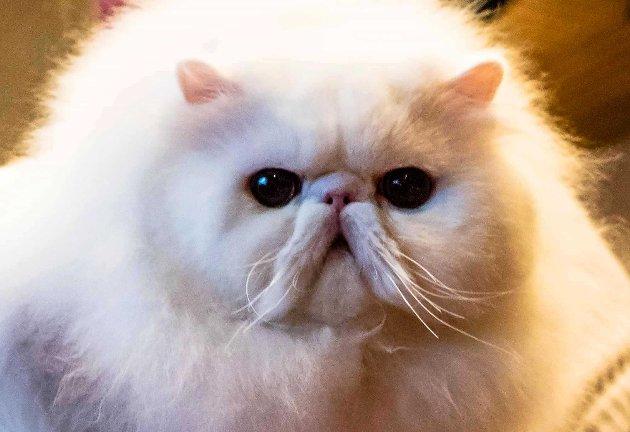 NORDBY: «Best in the show» heter det kanskje ikke på kattespråket, men uansett ble en hvit perser på halvannet år kåret til utstillingens flotteste katt. - Klart jeg er stolt, sier eier Anne Hofsrud fra Asker da hennes katt med det lange navnet Adele del Falco de Oro vant.  På den to dager lange utstillingen deltok over hundre katter. Utstillingen ble arrangert av Norsk Rasekattklubb av 1938.