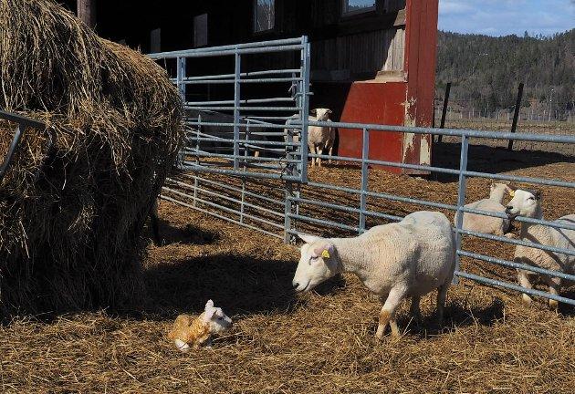 NYFØDT:  Lammet er nyfødt og får oppmerksomhet av mor.