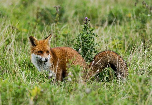 UETISK: – Når jakta starter 15. juli er mange av valpene bare rundt to måneder gamle, skriver Jenny Rolness.