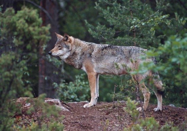 TELEFONHETS: Etter siste vedtak om kvotejakt på ulv har medlemmer av rovviltnemnda fått ubehagelige telefoner.