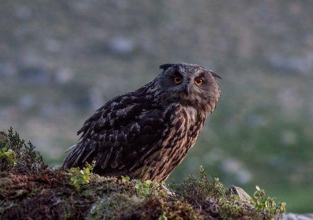 TRUET: Det er registrert minst tre hubrorevir og også hekking i Hetlandsskogen, påpeker Arne Løland. Her ser vi en  hubro på en utkikkspost.
