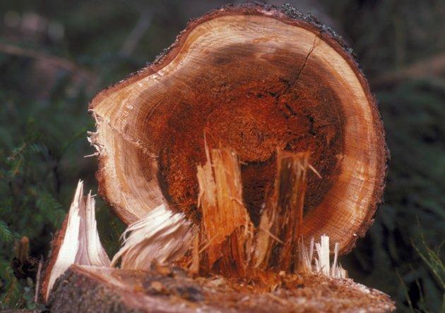 Rotråte i gran er et stort problem, som gir betydelig verditap for trønderske skogeiere. Råtesoppen bidrar til den naturlige nedbrytningen i skogen, men forårsaker også store skader på levende trær som igjen fører til utslipp av klimagassen CO2.