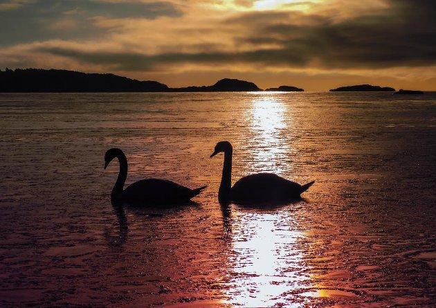 VINNERBILDET DENNE UKA: Paulina har fanget disse to svanene i sol og islete vann på en fin måte