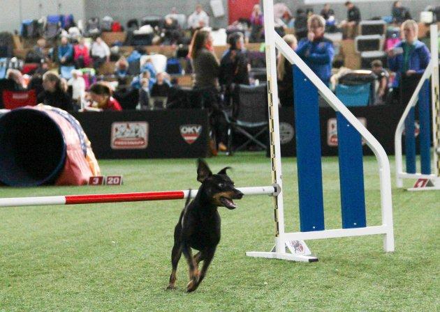 Ivrige og glade firbeinte - her en av de nesten 700 hundene som var samlet i storhallen i helga.