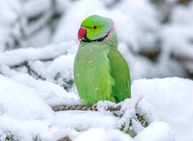 Torbjørn Ekelund fra Oslo. Han er forfatter av naturbøker og skal skrive om papegøyen som hele Moss har omfavnet. Dette bildet tok han i februar 2019