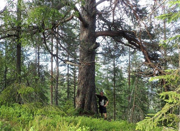 Kjempefuru innenfor utvidelsesforslaget til Barmen naturreservat.