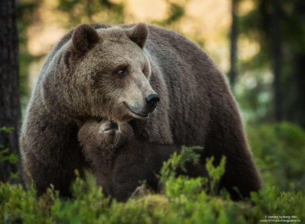 En levedyktig bjørnebestand er en viktig del av vårt biologiske mangfold, også i Trøndelag, skriver Hege Loholt og Øystein Folden fra Naturvernforbundet.