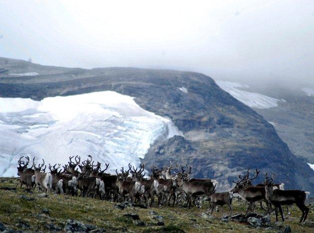 Trafikk:  Holder det nå på å bli så mange veger og hytter og så mye folk i Rondane, at villreinen bør erstattes med tamrein også der, som i Jotunheimen?