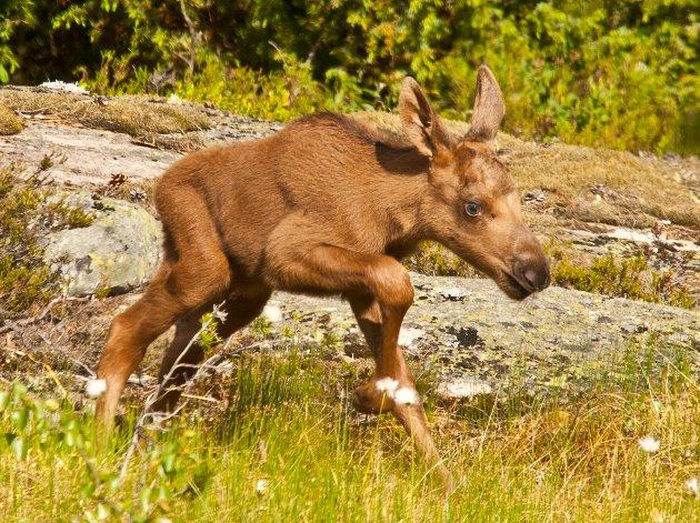 Store orienteringsløp i pinsen er å utsette viltet for uakseptabel risiko. Nyfødte kalver klarer ikke å følge mora dersom hun blir skremt.