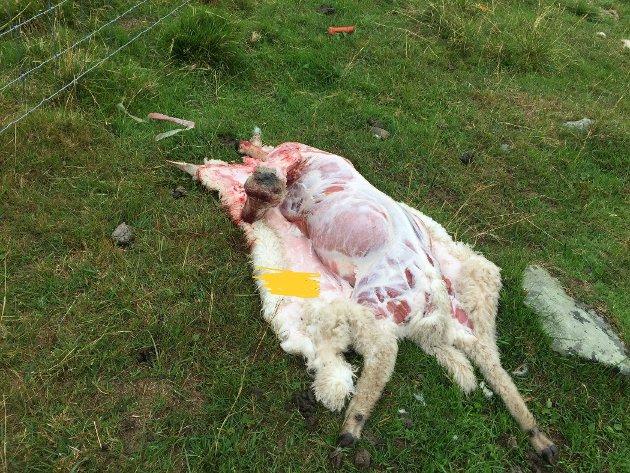 DOKUMENTERT: Statens naturoppsyn har dokumentert ferske ulveskader i Rendalen. Her et flådd lam på setervollen.