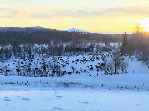 Rein på innmark i Siksjølia i desember 2020.