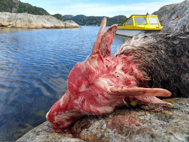 LAM DØDE: Et lam er i løpet av helgen blitt bitt i hjel av en hund på Husøya / Vrangesundøya på Hidra. Foto: PRIVAT
