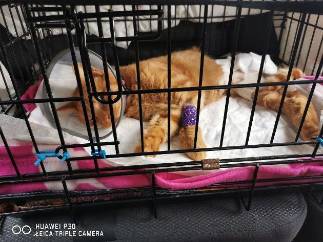 En nyoperert Timba etter operasjonen hvor de måtte amputere det ene bakbenet.