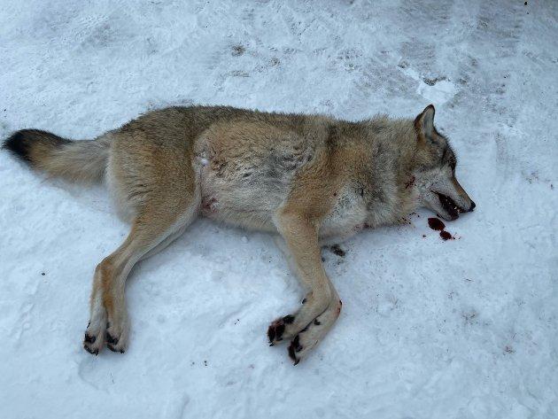 Det at ulven lever av kjøt og ikkje gras, betyr ikkje at han er ein demon i dyreriket, skriv Hans Johan Breidablik. (Bilde av ulven Lucky som vart skoten i Hyllestad i midten av januar.)