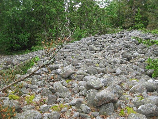 Gravrøysa Langrøsset er 3000 år gammel. Johnny Arntzen ønsker at den ska bli ryddet og komme til sin rett i kulturlandskapet på Herføl.
