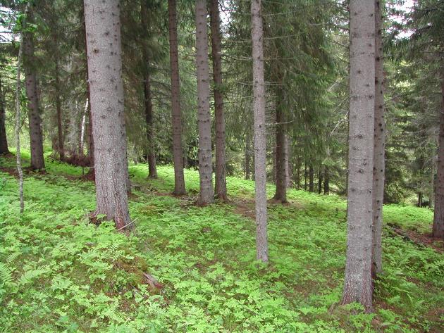 Grantreet egner seg godt i nord. Produserer tømmer og binder karbon.