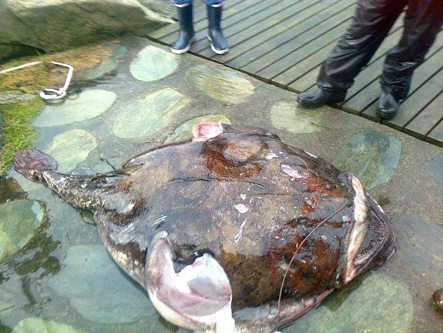 JANUAR 2012: Frank-Rune Kopperud på Sandvoll fekk ein breiflabb på 115 kilo i garnet i Høylandssundet. Det var ny verdsrekord for breiflabb tatt på garn.