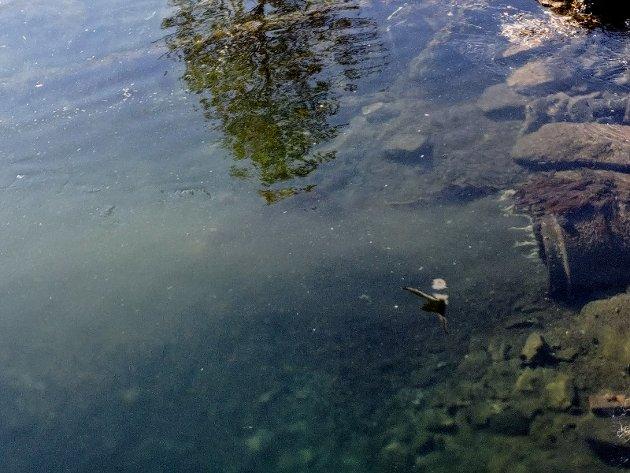 Tatt kl 17:00 14/5. Her sees toalettpapir og menneskelig avfall i full fart ut i havna midt i byen.