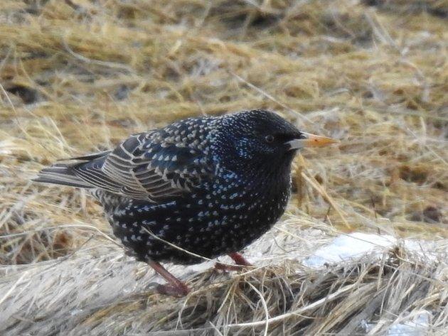 Stæren overvintrer sjeldent i Nordland, men det forekommer. De fleste trekker ut av landet, og krysser Nordsjøen i håp på et mildt vinterklima. Med en fuglekasse på veggen ønsker du stæren velkommen hos deg.