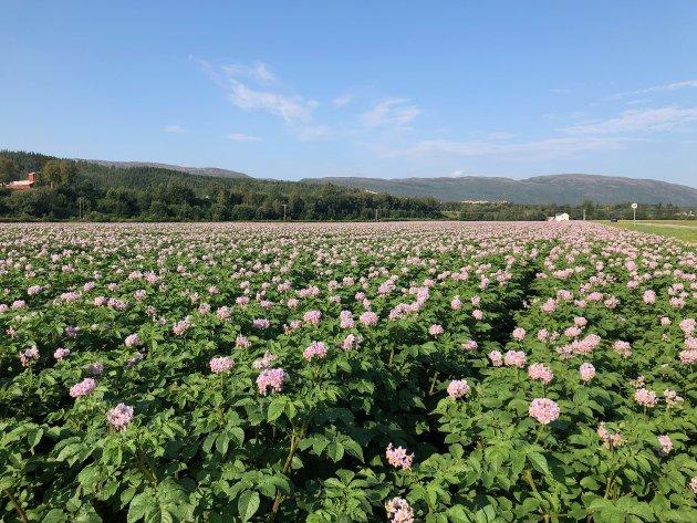 POTETDYRKING: Blomstrende potetåker i Overhalla - nå svarer Arbeiderpartiet på innspillet fra lederen i bondelaget i Overhalla, Øystein Kaldahl.
