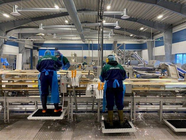 Filetering av torsk og hyse i Nergård sin nye filetfabrikk i Senjahopen