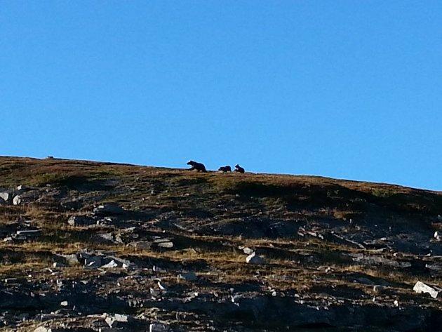 Ei bjørnebinne med sine to fjorårsunger i den lille sonen hun har blitt tildelt i Øvre-Dividal nasjonalpark, fråtsende i blåbær. Har vi virkelig ikke råd til sameksistens med flere enn denne lille familien og fire andre bjørner i Troms?