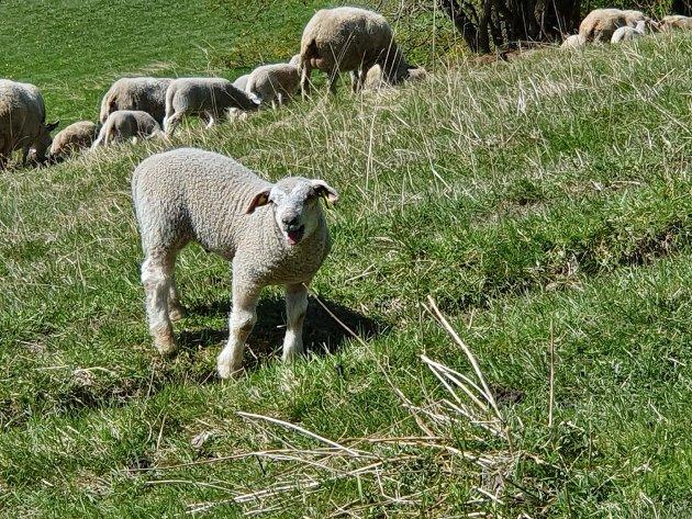 EIERE: – Med Norturas klare melding om at de ser utfordringene med svak lønnsomhet i sauenæringa som underordnet arbeidsområde, må vi konstatere at Nortura er i utakt med en stor gruppe av sine medlemmer/leverandører/eiere, skriver artikkelforfatteren.