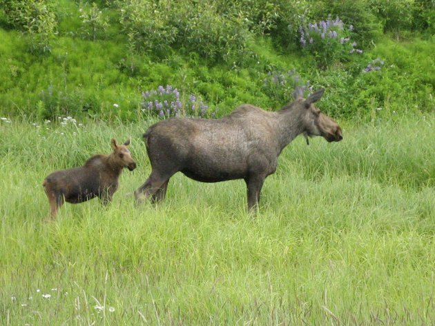 HASTVERK: – Håpet er at mange vil avstå fra å benytte den tidlige jaktstarten, men vil vente til ordinær jakttid.Det er ingenting som tyder på at det haster med å skyte ned elg- og hjortebestanden i kommunene rundt Nordfjella, skriver artikkelforfatteren