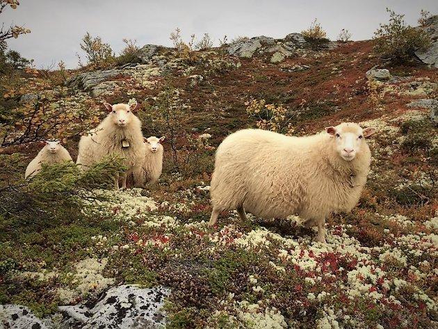 BEITE: – Bare i vår nevnte region høster vi som småfenæring nærmere 3.200.000 kilo fra de slippes på fjellbeite til de kommer trygt hjem. Og det er bare lammene, skriver Knut Evensen.
