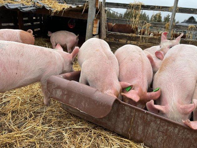 Lykkelige griser