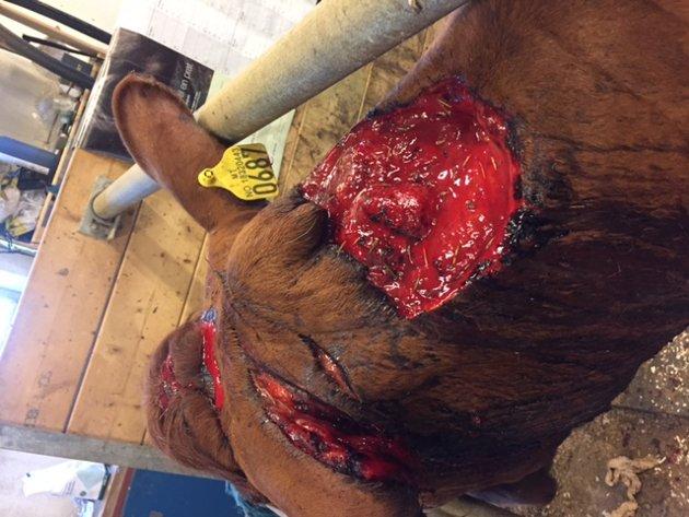 BRUTALT: Et stort stykke av nakken til kua var bitt bort av bjørnen.