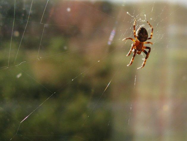 Edderkopp på nett