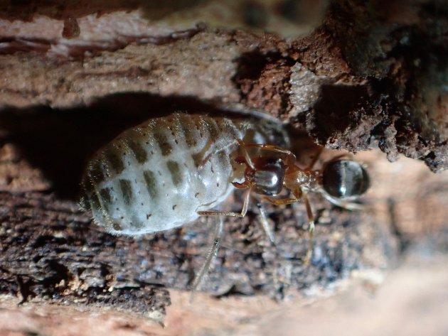 Den nye norske bladlusa (Stomaphis wojciechowskii) blir passet på av brun tremaur (Lasius brunneus) som den lever sammen med.
