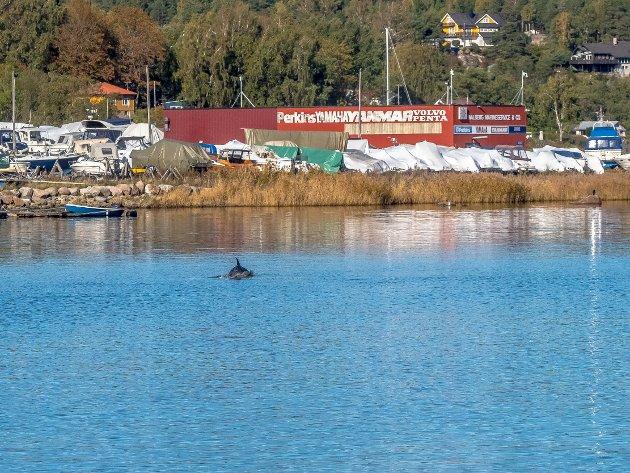 Delfin i Høysand