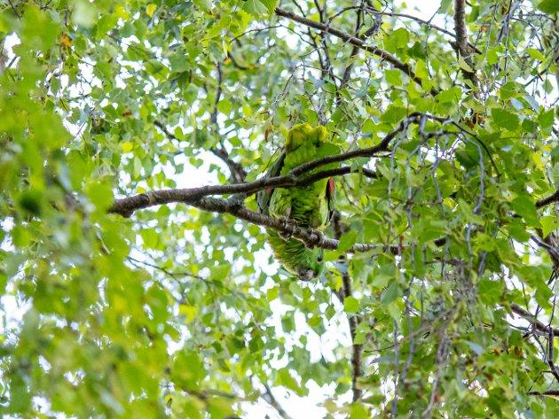 Papegøyen Koko var på rømmen i flere timer før matfar Nazif Sadiq fikk hjelp av brannvesenet til å hente ned papegøyen fra et tre.