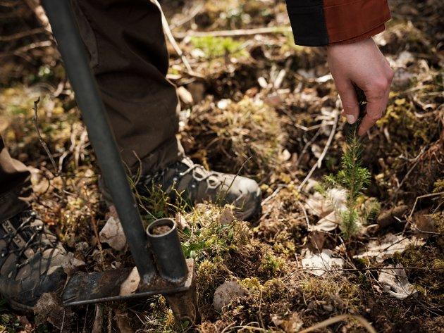 Vi har tre ganger så mye skog i Norge enn vi hadde for hundre år siden. Det har vi ikke minst fordi det skjedde en storstilt skogplanting i etterkrigstiden, skriver Per Skorge, adm. dir. i Norsk Skogeierforbund.