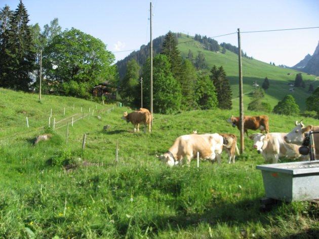 Frittgående kuer i Sveits