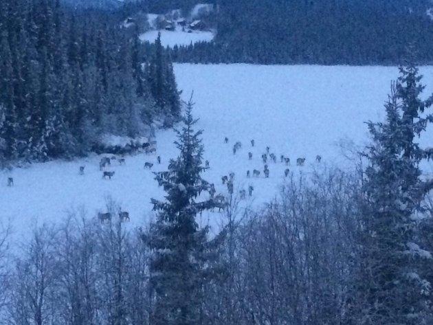 Det var vel bra disse reinsdyra heldt seg på isen i Skammestein fredag..