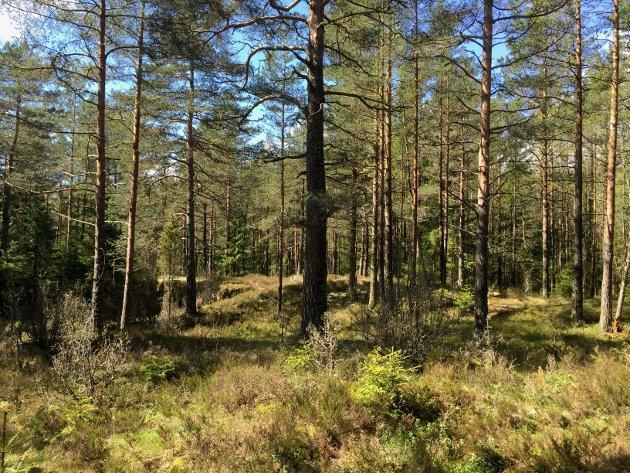 Denne skogen ved Ødemørk er nå vernet