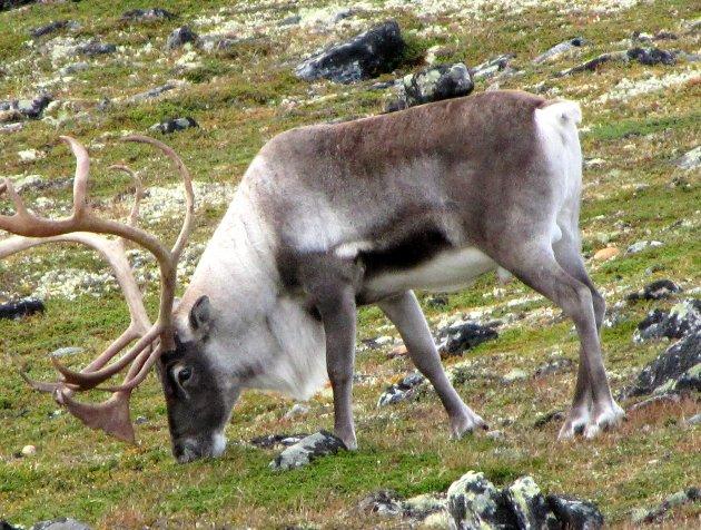 SMITTE: Så lenge ingen vet hvordan smitten  kom til Hardangervidda, er også vår villrein truet.Foto: Vidar Heitkøtter