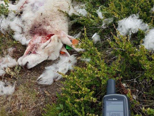 Brutalt: Tross nasjonale tapstall; dette er den brutale virkeligheten for mange beitebrukere.Foto: Privat